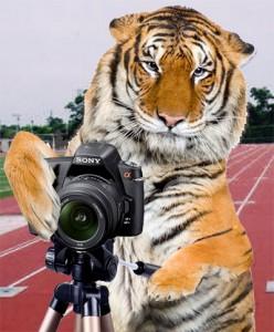 tigres-photo
